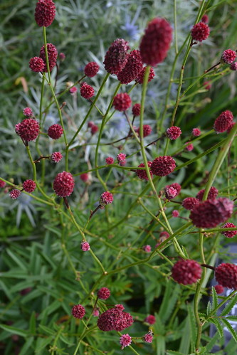 SANGUISORBA 'Miss Elly'