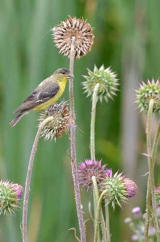 Lesser Goldfinch | by malcolmgold