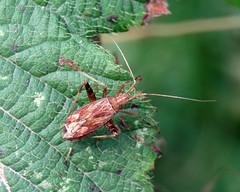 Phytocoris varipes