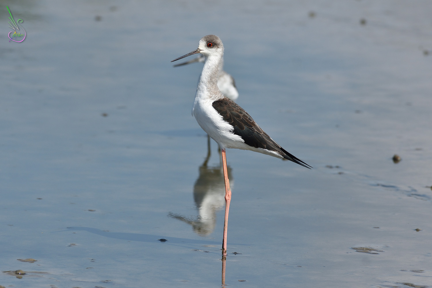 Black-winged_Stilt_1418