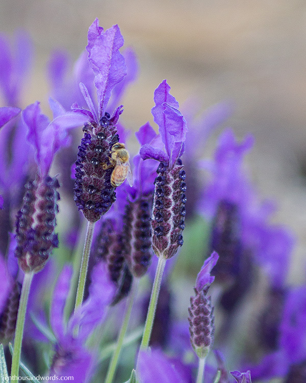 Bees enjoying lavender 03