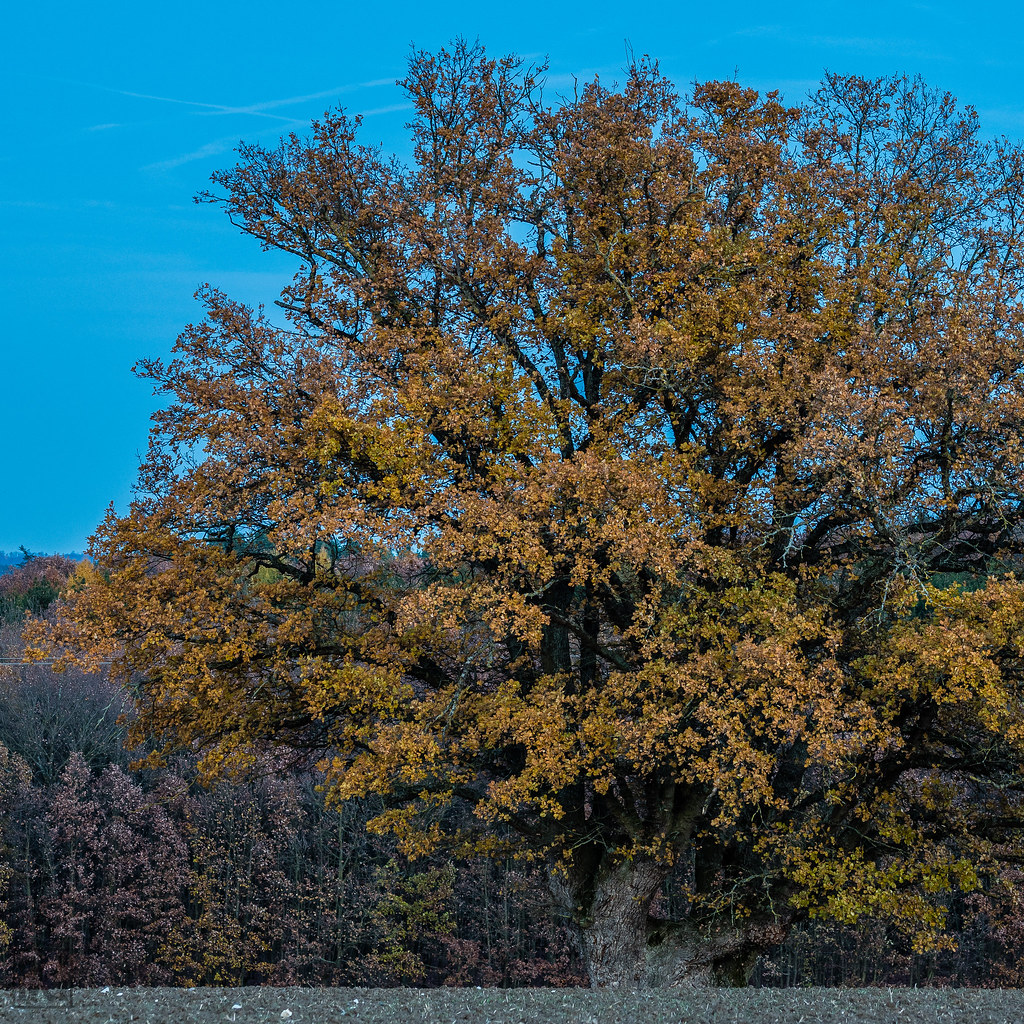 Common Oak Quercus Robur In Autumnal Colours Some Days Flickr