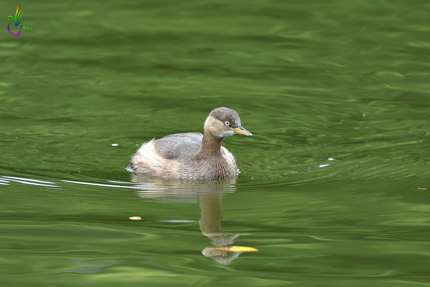 Little_Grebe_1341
