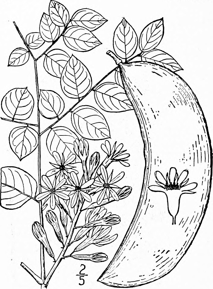 Canada Image From Page 347 Of An Il Rated Flora Of The Northern United States Canada
