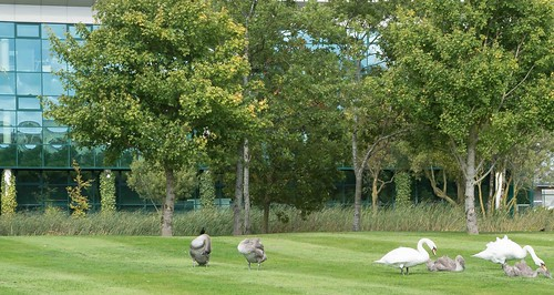 WILDLIFE IN CITYWEST [FAMILY OF SWANS GRAZING] REF-1085533 | by infomatique