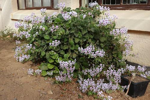 Pelargonium echinatum