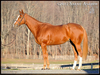 Colby- 6yo Thoroughbred available for adoption | by Rock and Racehorses