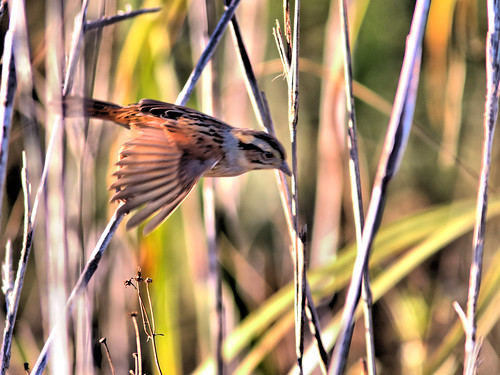 Swamp Sparrow in flight HDR 20161122