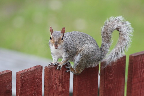 Squirrel on Fence | by javelinchris