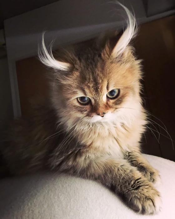 Очаровательный котёнок с «рожками антилопы» - ПоЗиТиФфЧиК - сайт позитивного настроения!