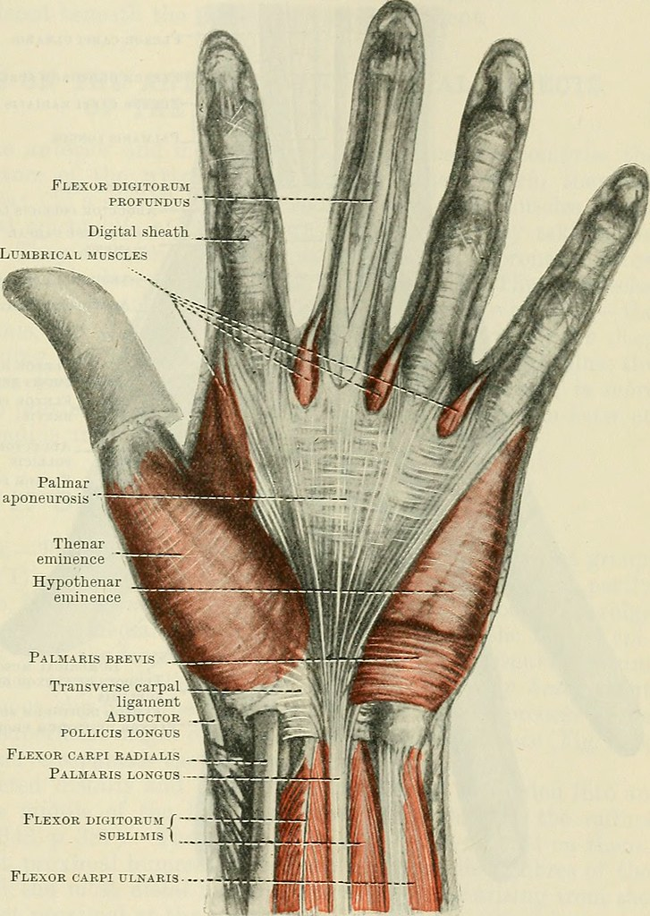 Image From Page 416 Of Cunninghams Text Book Of Anatomy Flickr
