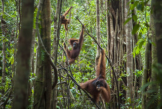 Borneo Orang-utans | by Environmental Investigation Agency (EIA)
