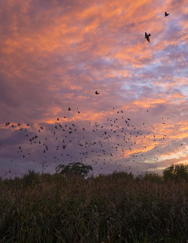 Starling roost, Broom GP, 4th November 2016