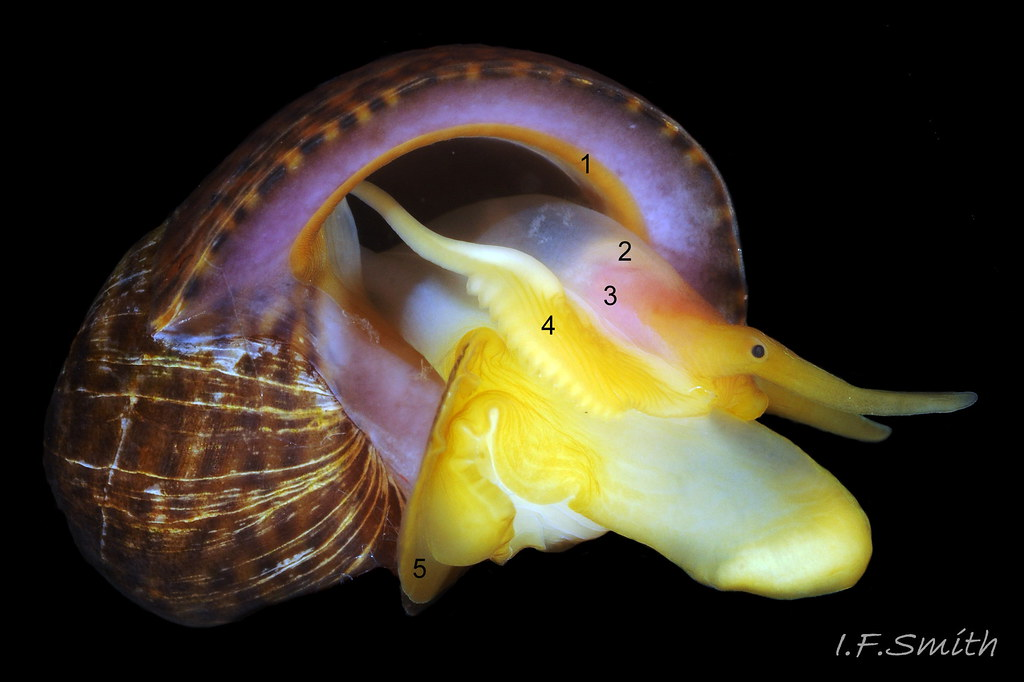 9 Gastropod anatomy. Male Littorina fabalis, restrained by… | Flickr