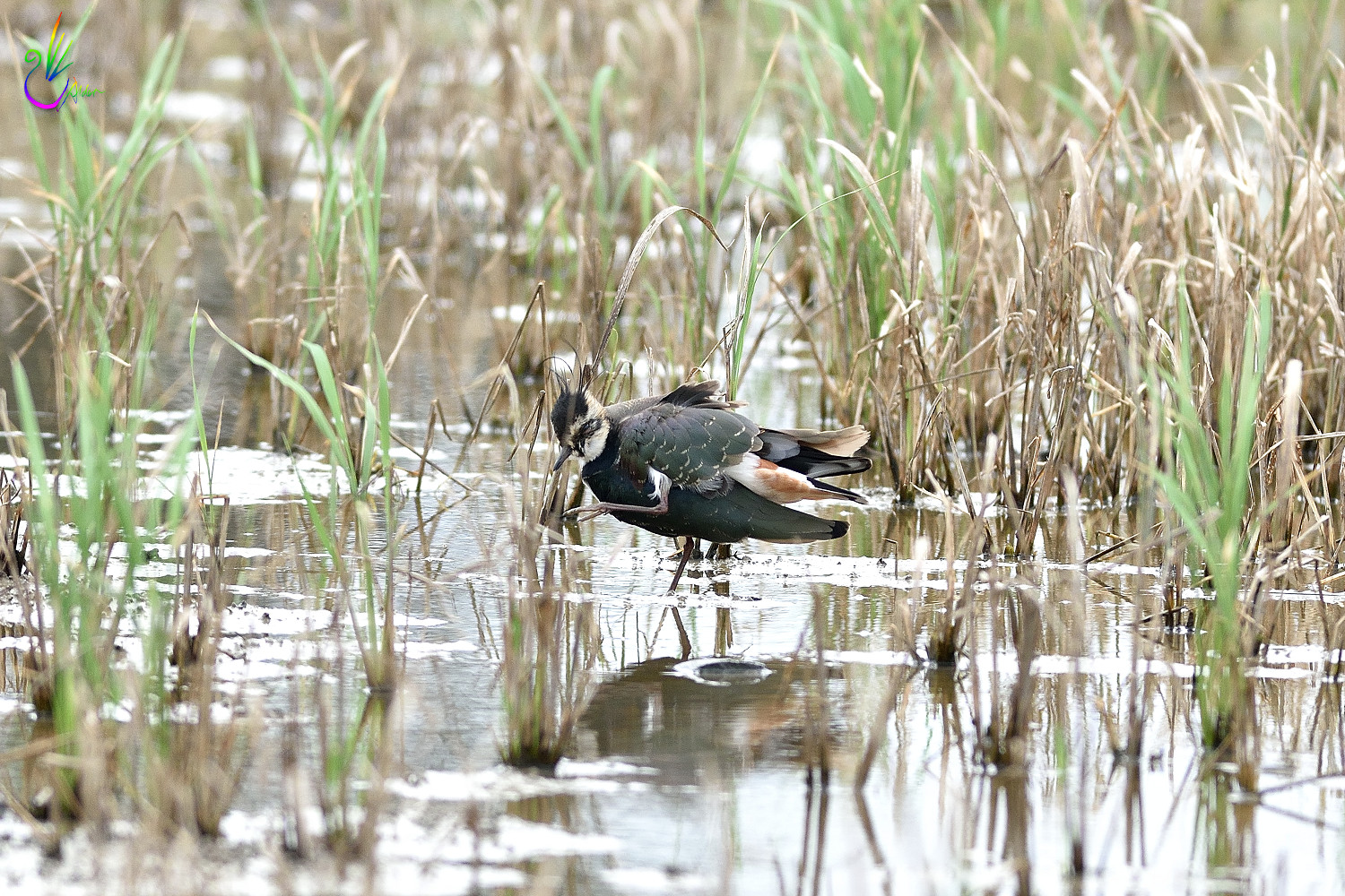 Northern_Lapwing_2534