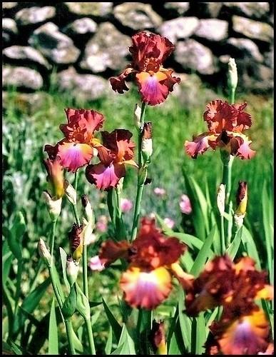 Iris 'Terre de Feu' - Richard Cayeux 1997 21112435864_1d78143777