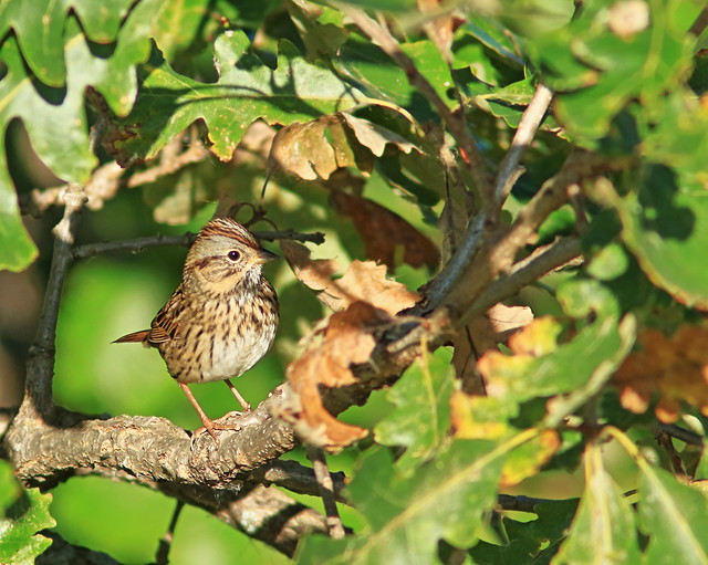 Lincoln's Sparrow 2-20161009