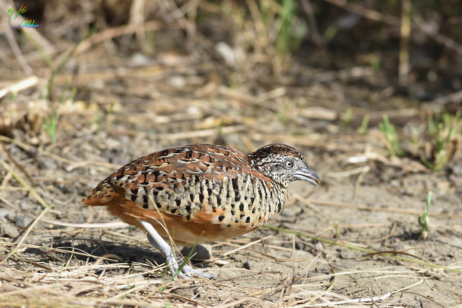 Barred_Buttonquail_2616