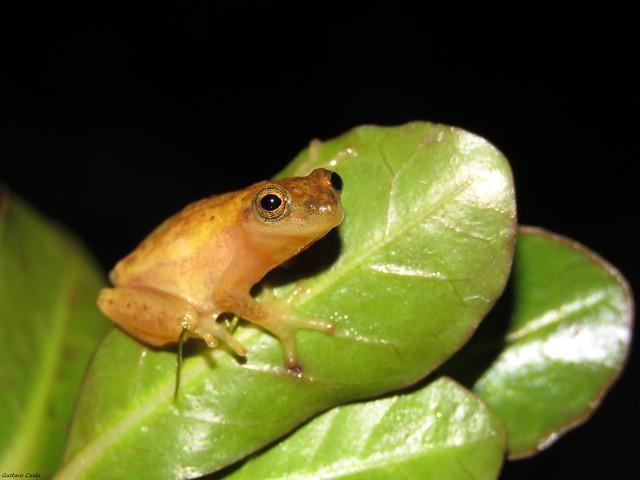 Ranita Enana de Sanborn (Dendropsophus sanborni)