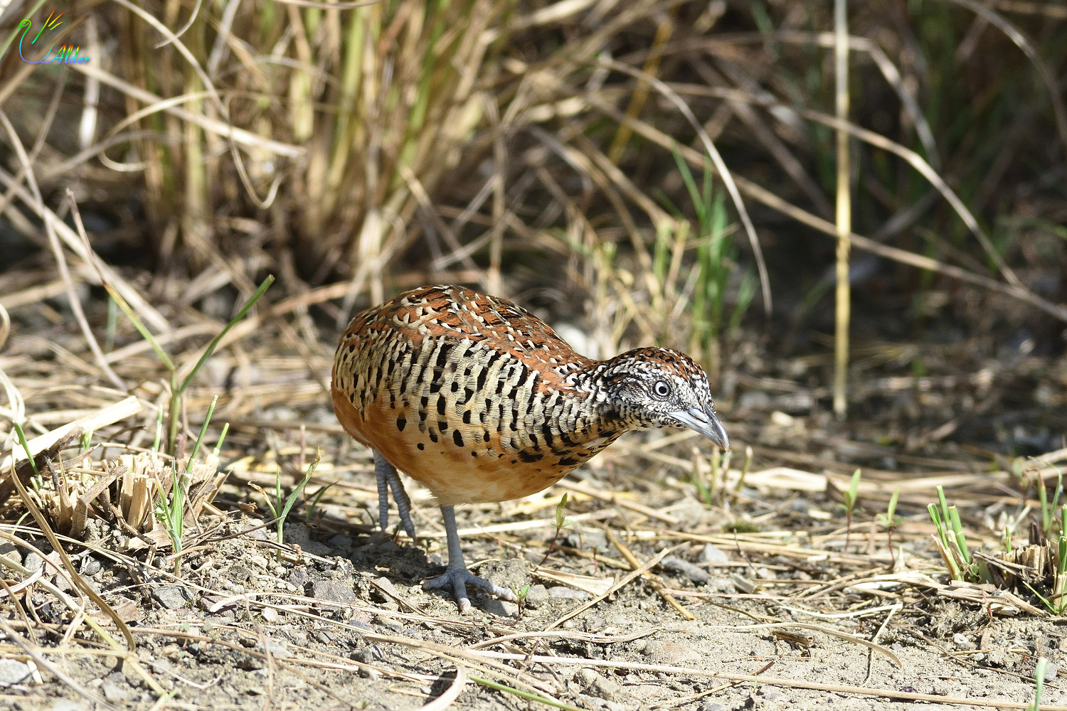 Barred_Buttonquail_2594