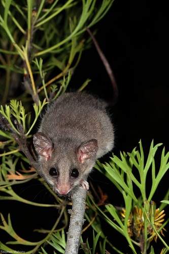 eastern pygmy possum - photo #15