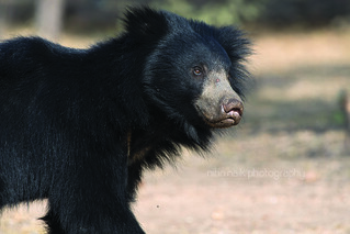 Sloth bear | by Nitin Naik Photography