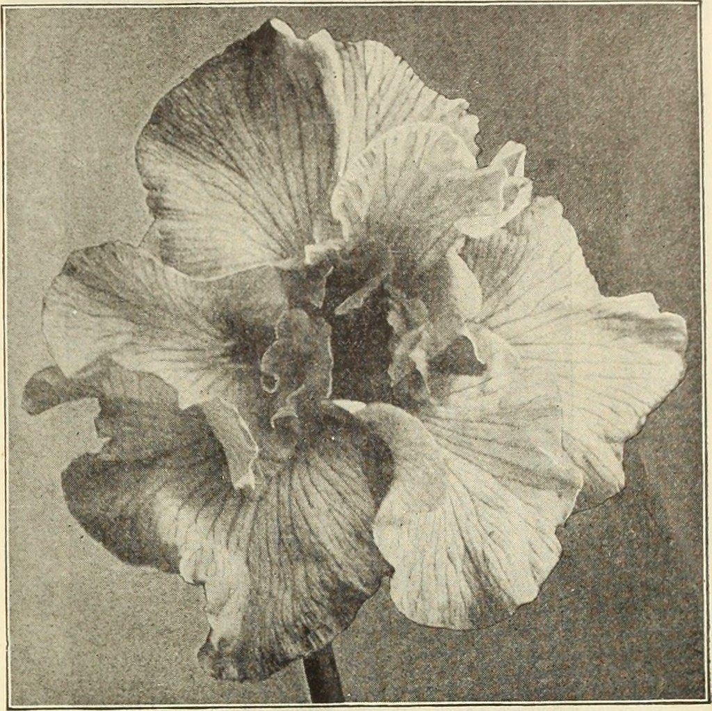 Image from page 34 of dreers wholesale price list bulb flickr image from page 34 of dreers wholesale price list bulbs for florists plants for izmirmasajfo