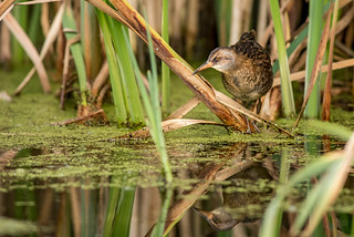 Juvenile Water Rail | by www.craigrogers.photography