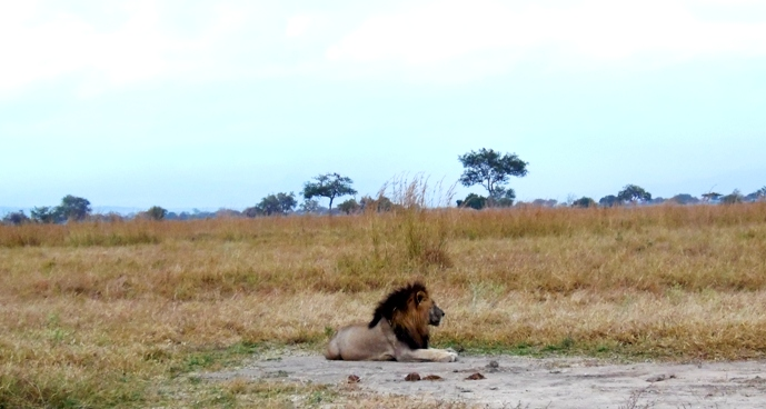 Male Lion resting in Mikumi national Park