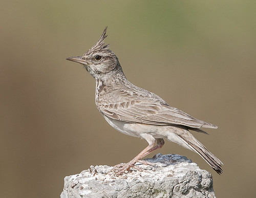 Crested Lark | by Koshyk
