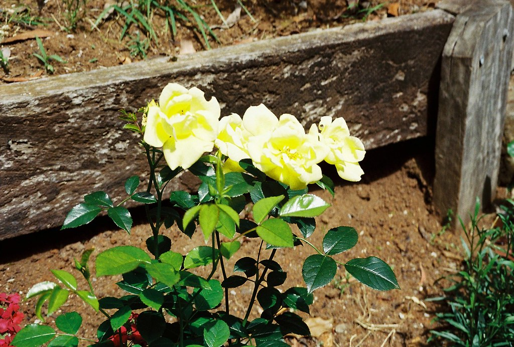 Yellow Flower Carpet Rose Taken Using Canon Sure Shot 60 Flickr