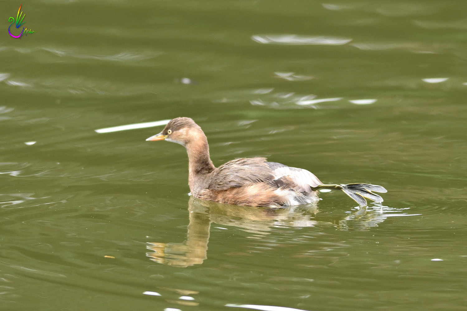 Little_Grebe_1045