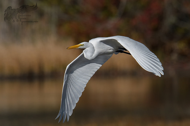 Great Egret 10_24 1