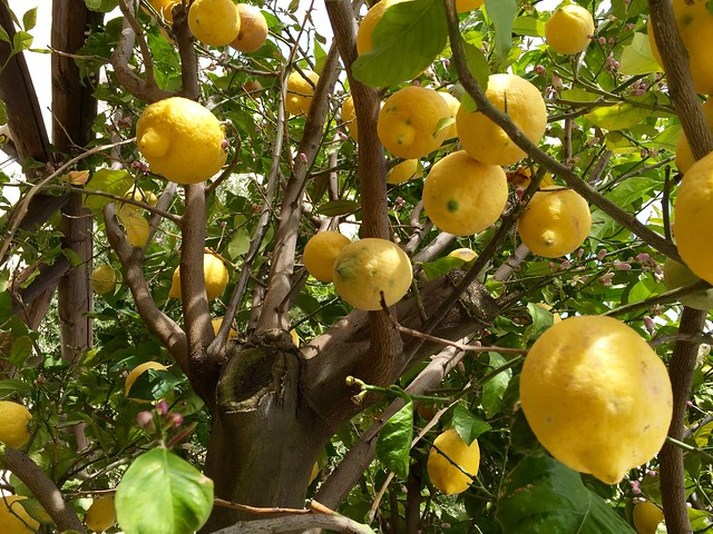 lemon-tree-cr-brian-dore