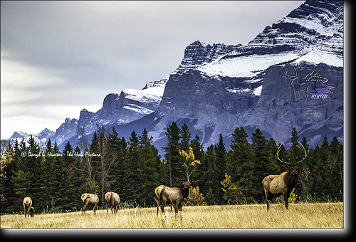 elk herd banff national park elk herd canadian rockies flickr. Black Bedroom Furniture Sets. Home Design Ideas