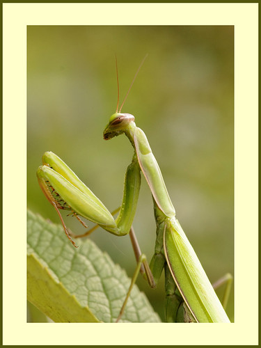 Mantis study | by drofmit4108