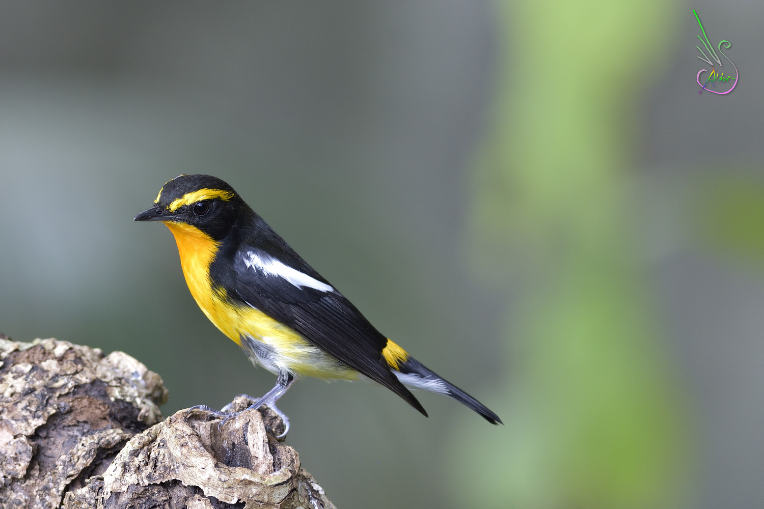 Narcissus_Flycatcher_8514