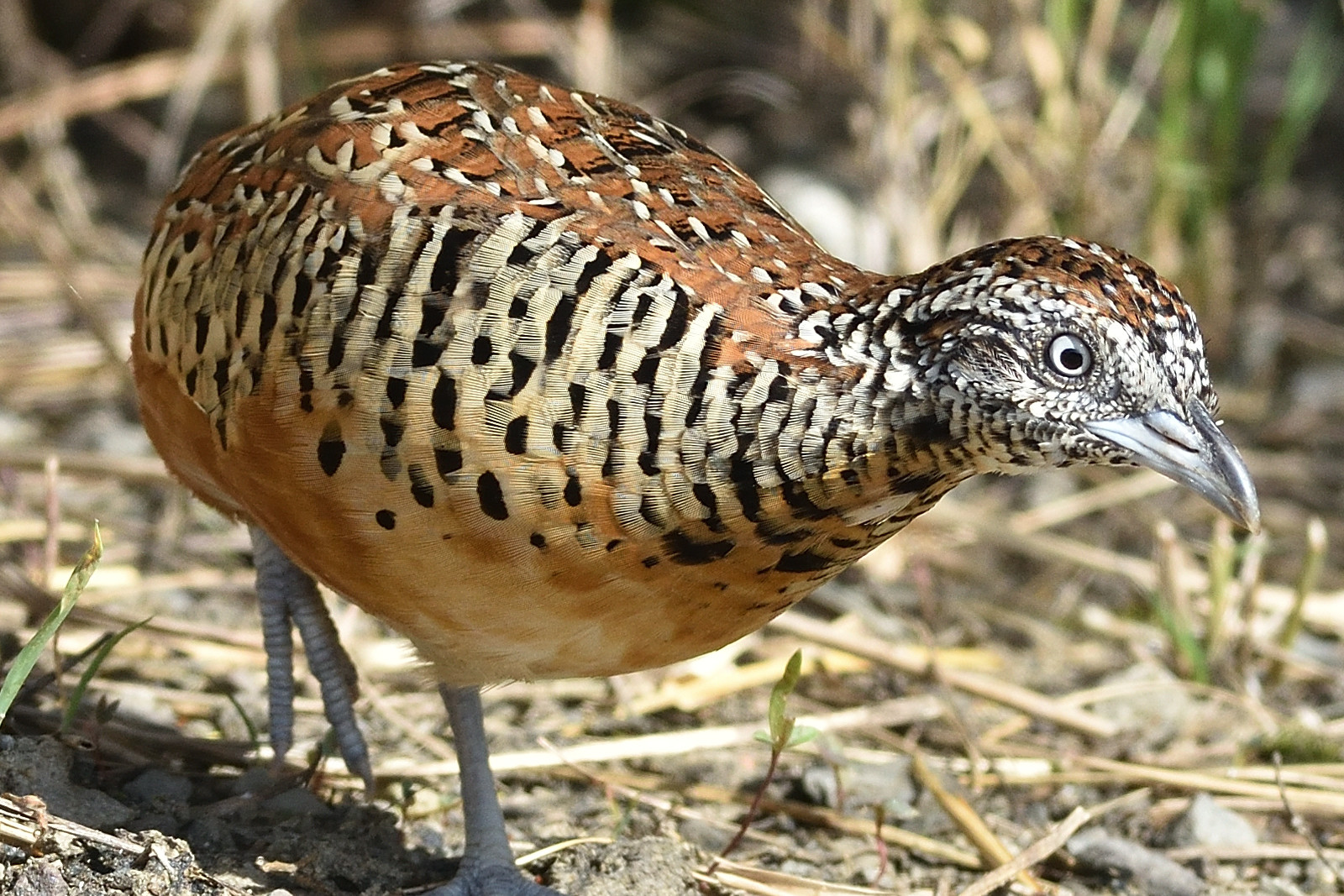 Barred_Buttonquail_2594_o
