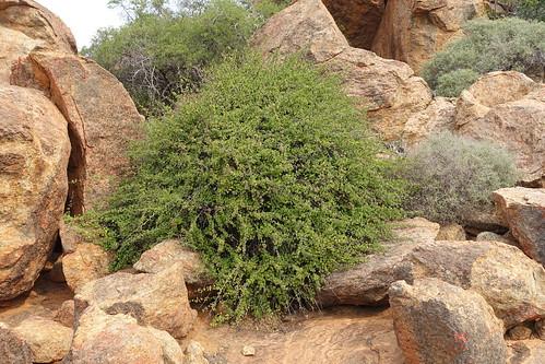 Pelargonium antidysentericum