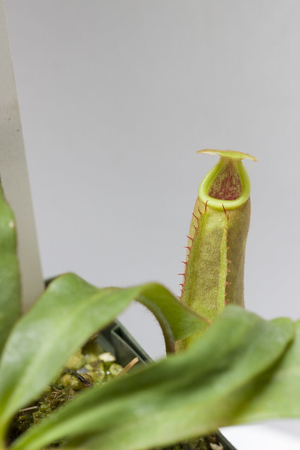 Nepenthes veitchii Hose Mountains MT