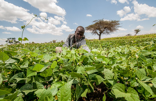 White pea beans in Ethiopia | by CIAT International Center for Tropical Agriculture