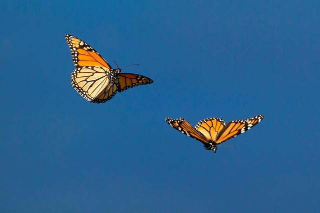 Monarch Butterflies in Flight