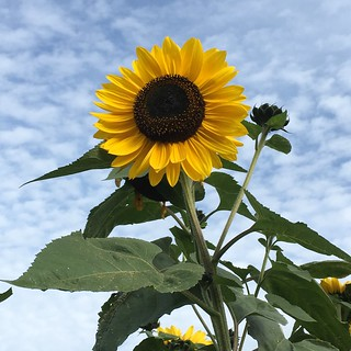 Sunflower | by frk_bibo