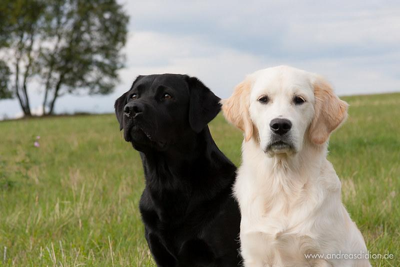 Black Labrador Lotte And Golden Retriever Puppy Ellie Flickr
