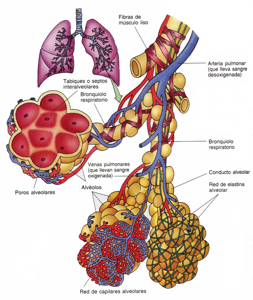 Alvéolos Pulmonares | Profe Josema | Flickr