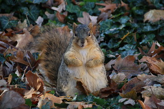 Squirrels in Ann Arbor at the University of Michigan (November 30, 2016) | by cseeman