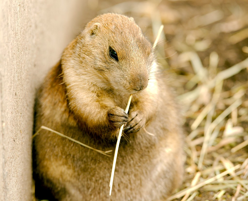 Prairie Dog_7