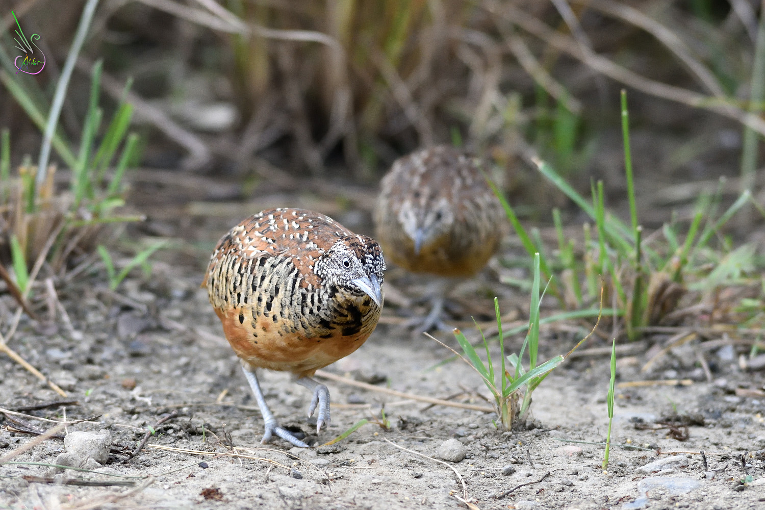 Barred_Buttonquail_1734