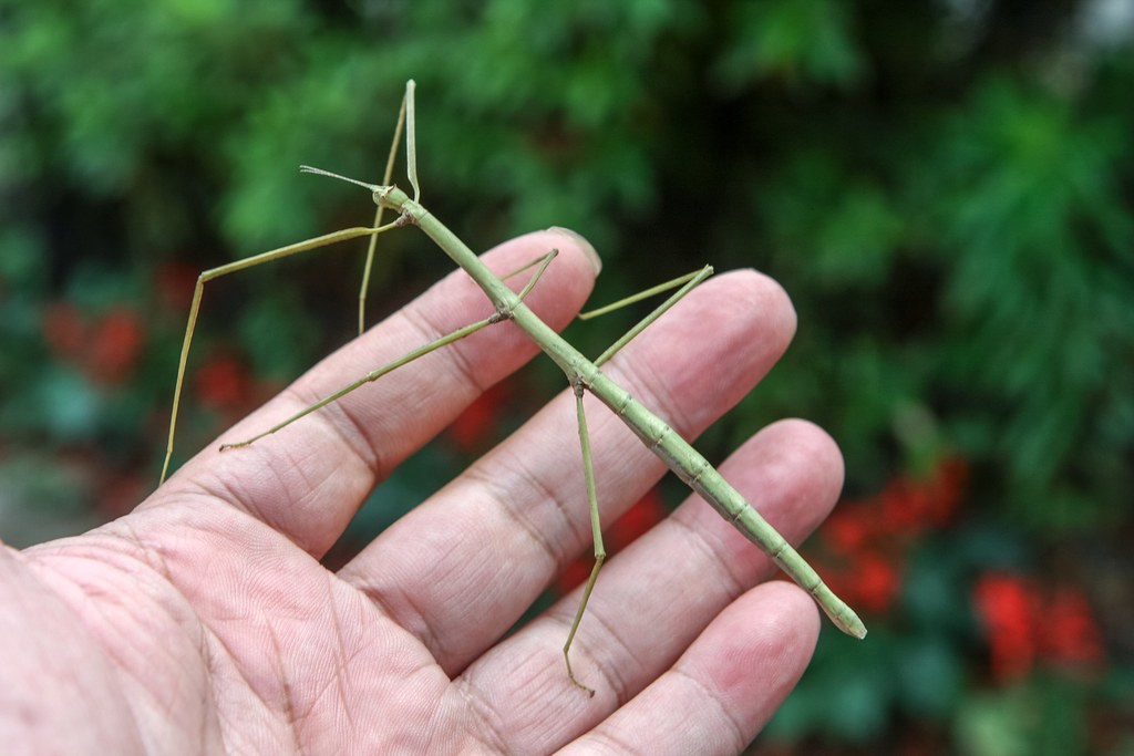 Stick insect 竹節蟲 ナナフシ(...