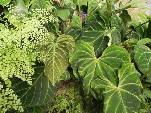 Anthurium leuconeurum_tholzer
